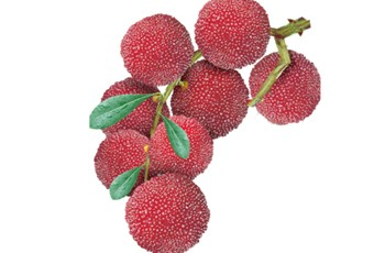 Red Bayberry